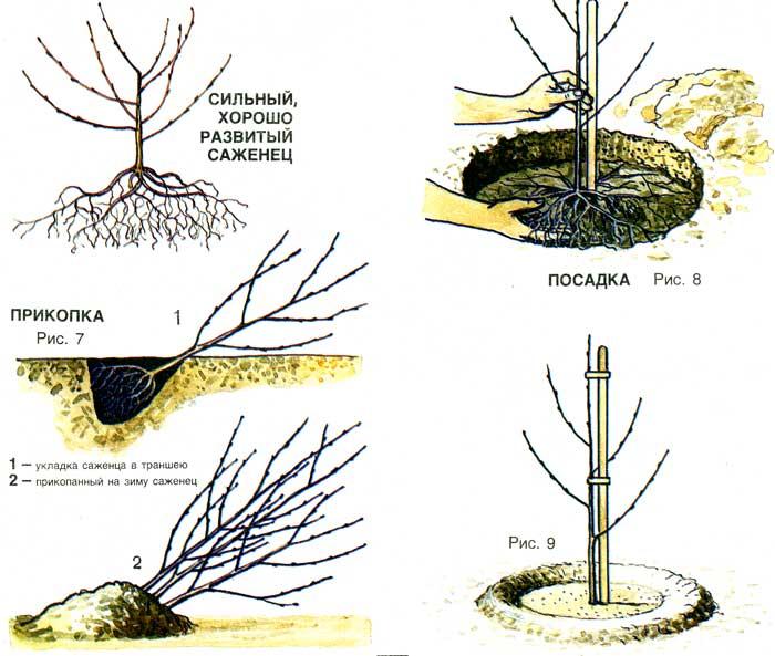 схема посадки вишни весной