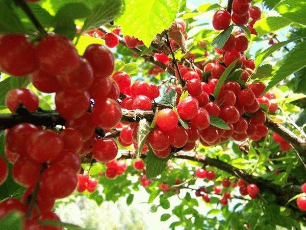 Куст войлочной вишни фото
