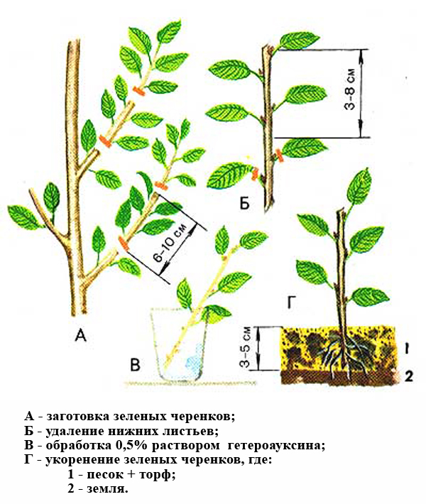 Размножение войлочной вишни зелеными черенками фото