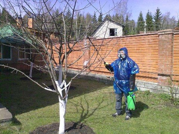 Весенняя обработка вишни фото
