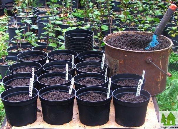 Выращивание семян яблони фото