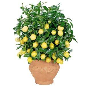 взрослый лимон фото