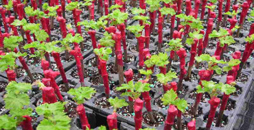 виноград из чубуков фото