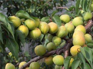 Ананасный абрикос фото