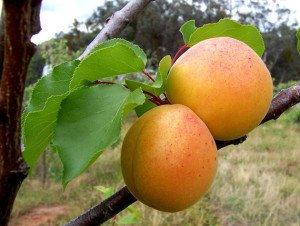 Ананасный абрикос плоды фото