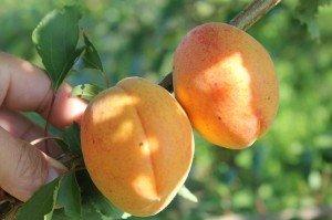 Ананасный абрикос зрелые плоды фото