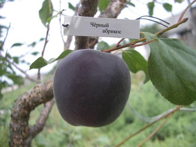 Черный абрикос
