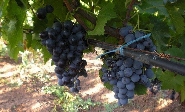 Грозди винограда Мускат Гамбургский фото