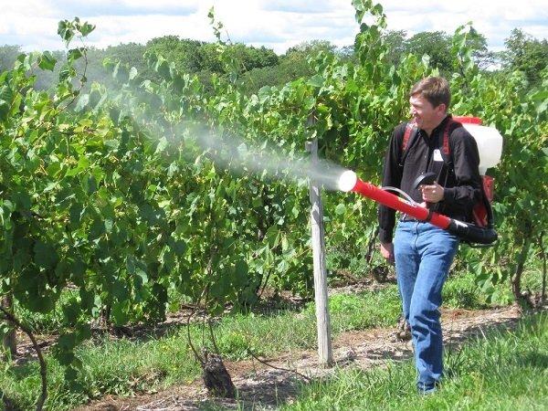 Весенняя обработка винограда фото