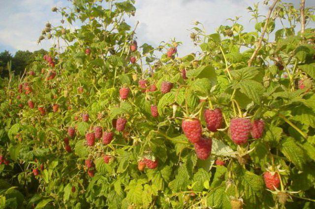 Кусты малины сорта Брусвяна фото