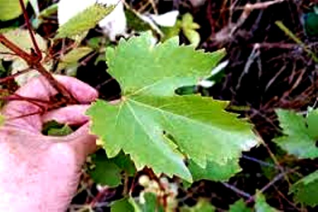 Лист винограда Мускат гамбургский фото