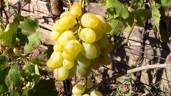 Виноград Монарх фото