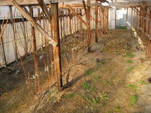 Обработка виноградника весной фото