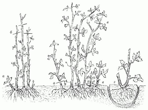 Обрезка малины весной фото