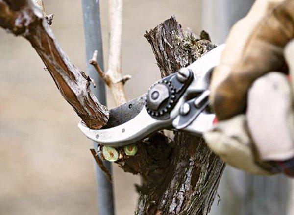 Обрезка виноградных лоз весной фото