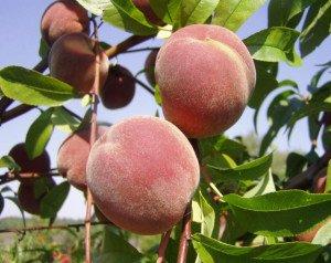 Первые плоды персика фото
