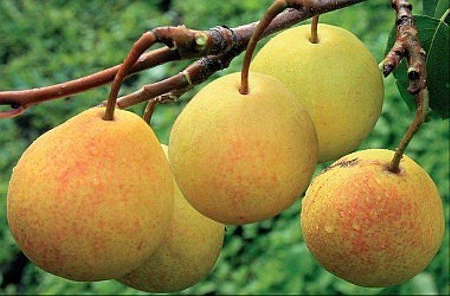Плод груши Бергамот Московский фото