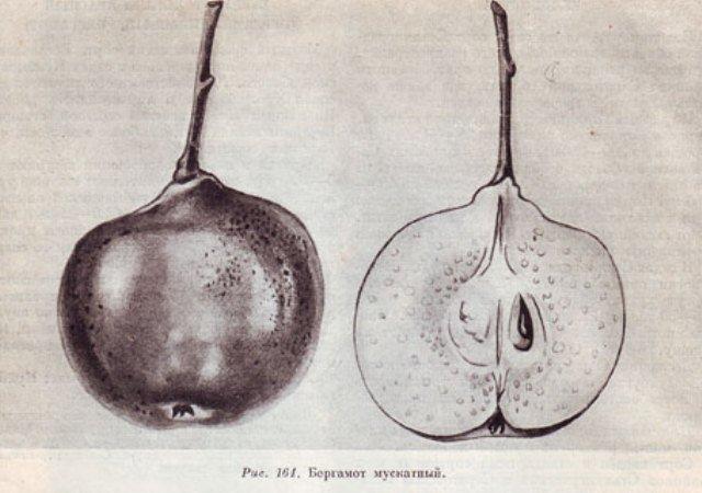 Плод груши Бергамот Мускатный фото