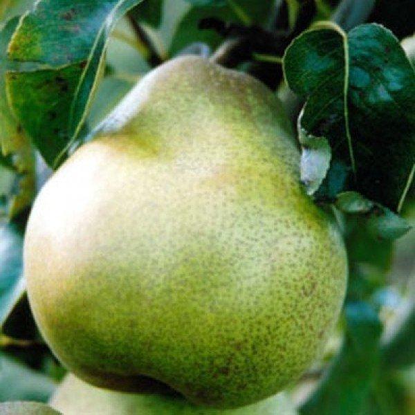 Плод груши сорта Бергамот фото