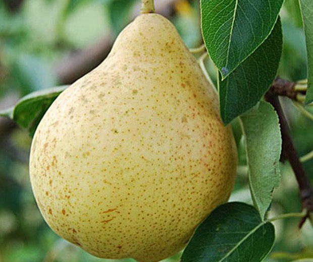 Плод груши сорта Москвичка фото
