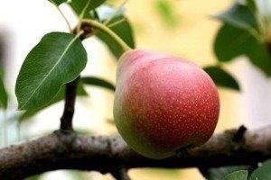 Плод груши сорта Нежность фото