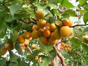 Плодоношение после обрезки абрикоса фото