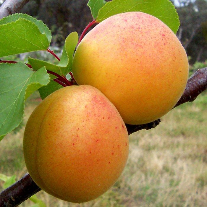Плоды абрикоса Триумф Северный фото