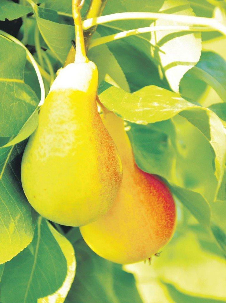 Плоды груши Вера Жёлтая фото