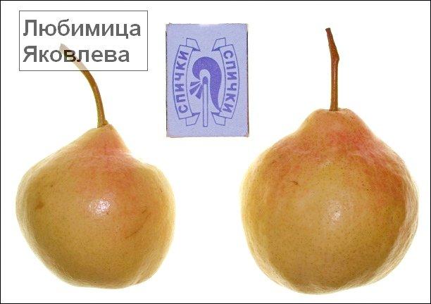 Плоды груши сорта Любимица Яковлева фото