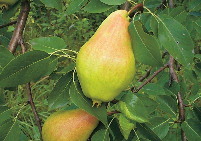 Плоды груши сорта Видная (Бугристая) фото