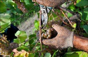 снятие винограда для хранения фото