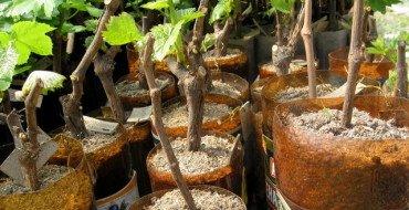 Размножение винограда черенками фото