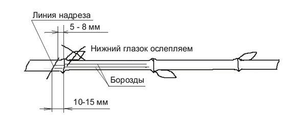 Схема нарезки черенка винограда фото