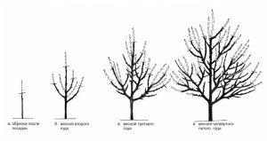 Схема обрезки абрикоса фото