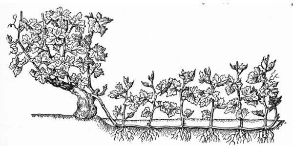 Схема размножения методом горизонтальных отводок фото