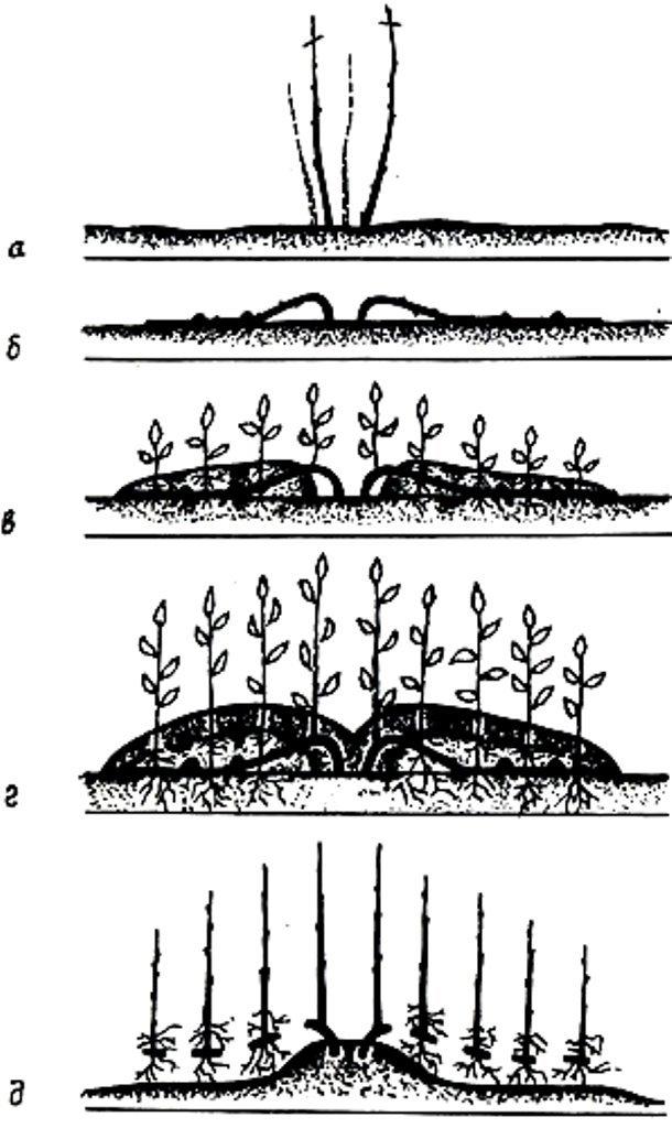 размножение методом вертикальных отводок фото