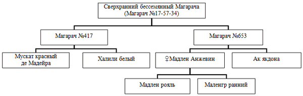 Селекционная схема для сверхраннего бессемянного винограда фото