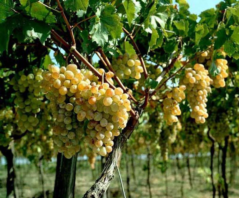 Сорт винограда Карабурну фото