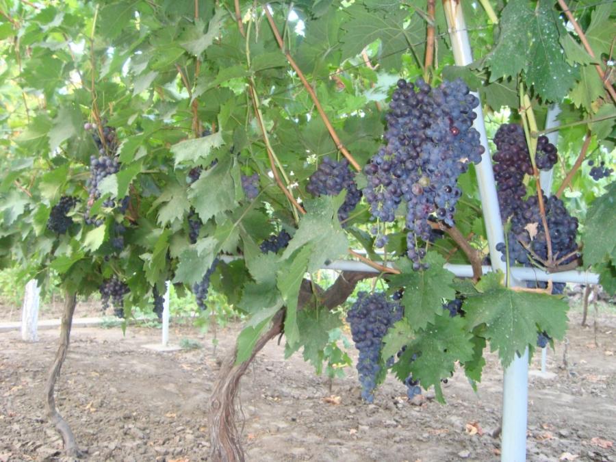 Сорт винограда Мускат гамбургский фото