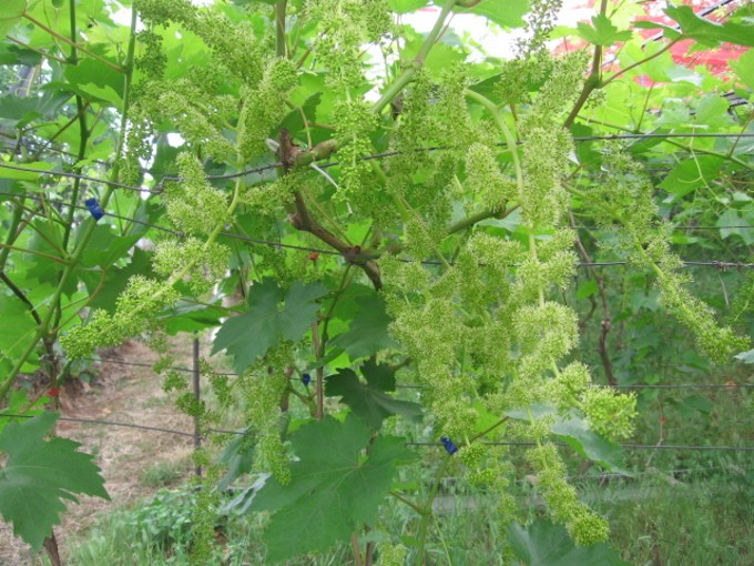 Цветение винограда Велес фото
