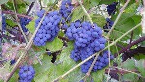 Виноград Изабелла фото