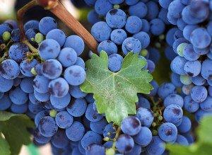 Виноград Изабелла ягоды фото