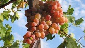 Виноград Тайфи розовый фото