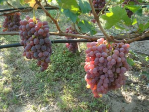 Виноград Тайфи розовый куст