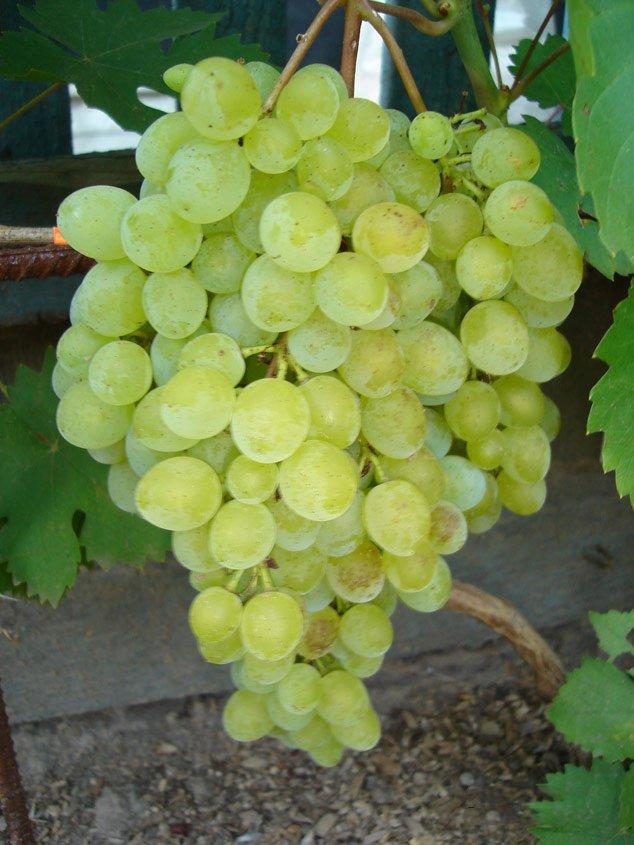 Виноград сорта Русбол фото