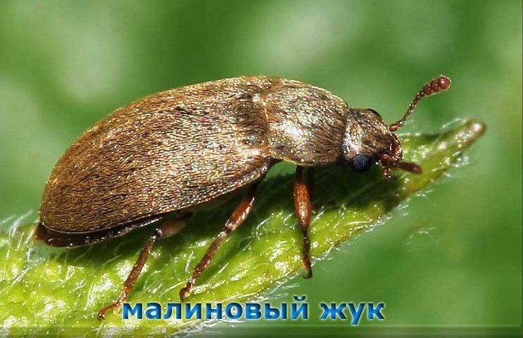 Вредитель ремонтантной малины - малиновый жук фото