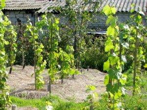 Высаженные саженцы винограда фото