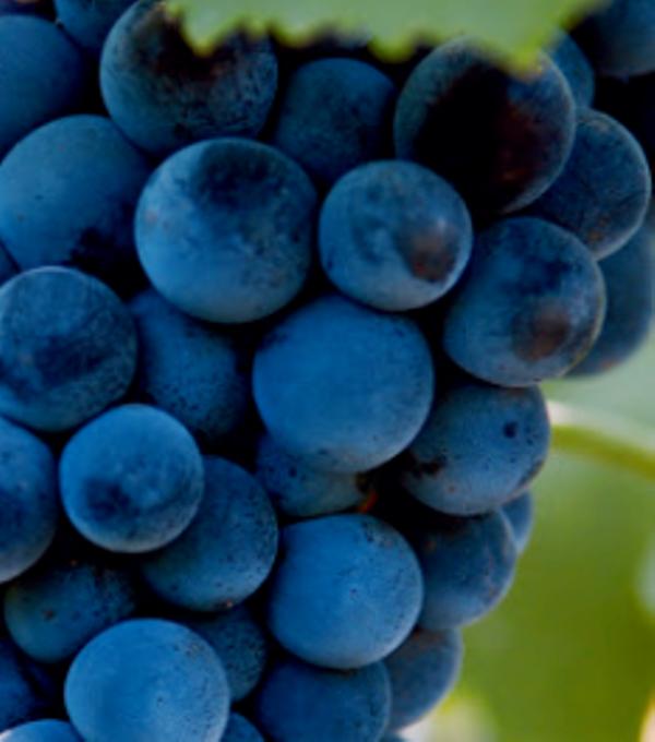 Ягоды винограда Муската Гамбургского фото