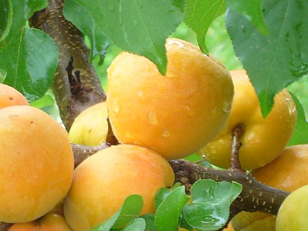 абрикос шалах плоды
