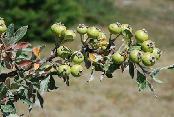Плоды дикой груши фото